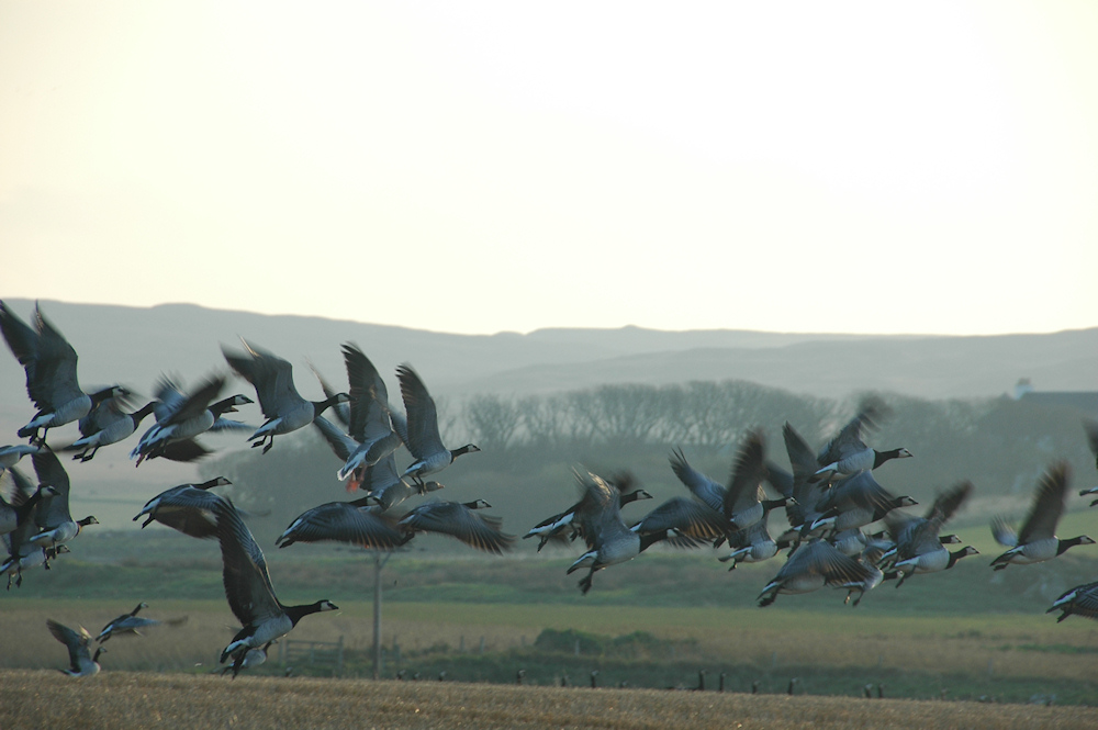 Picture of Barnacle Geese in flight above a field, a farm in the background