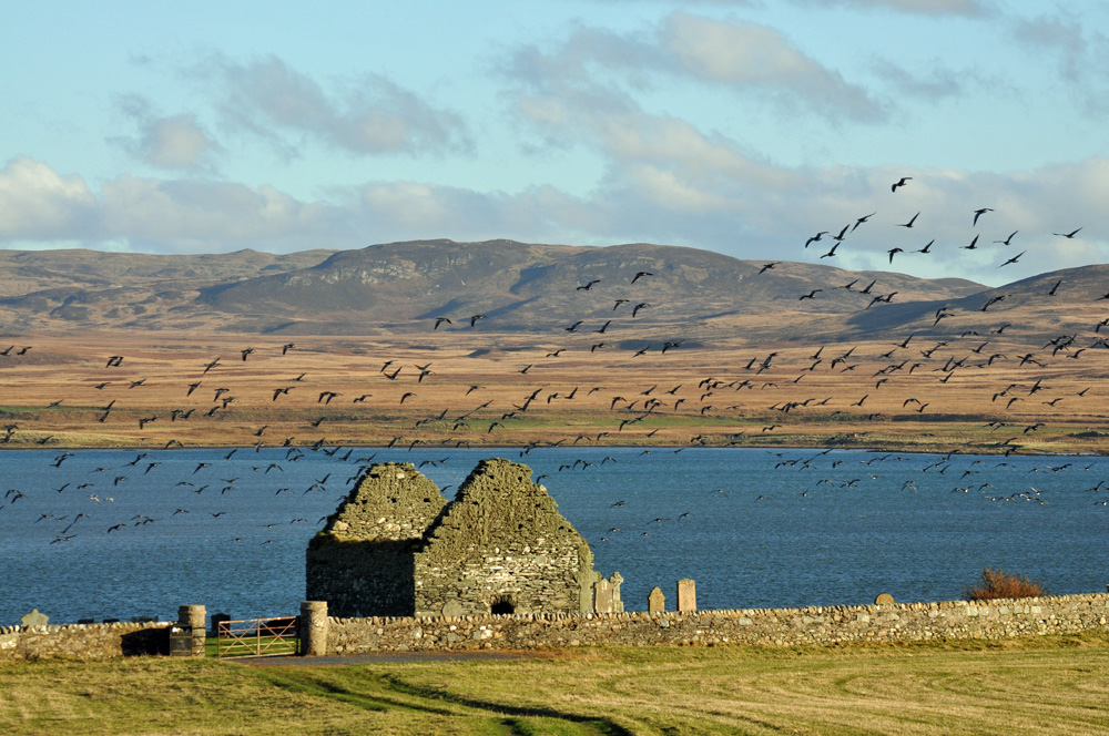 Picture of Barnacle Geese in flight over the ruin of Kilnave Chapel, Loch Gruinart in the background