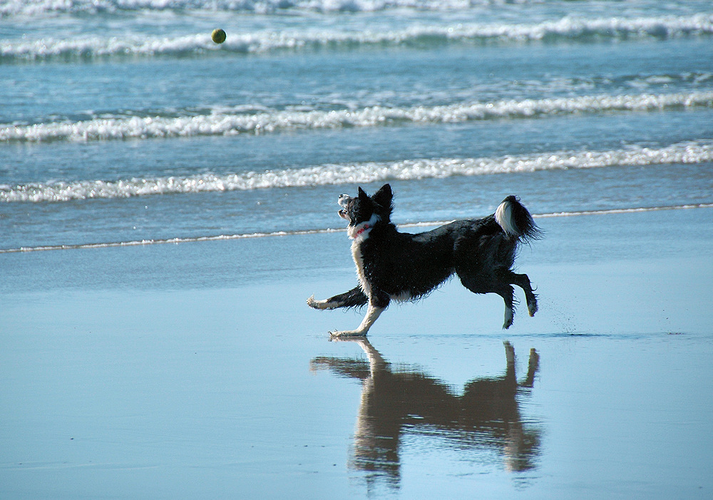 Picture of a Border Collie on a beach, chasing a ball