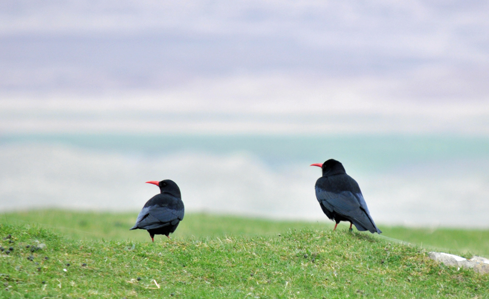 Picture of two choughs on short grass in dunes