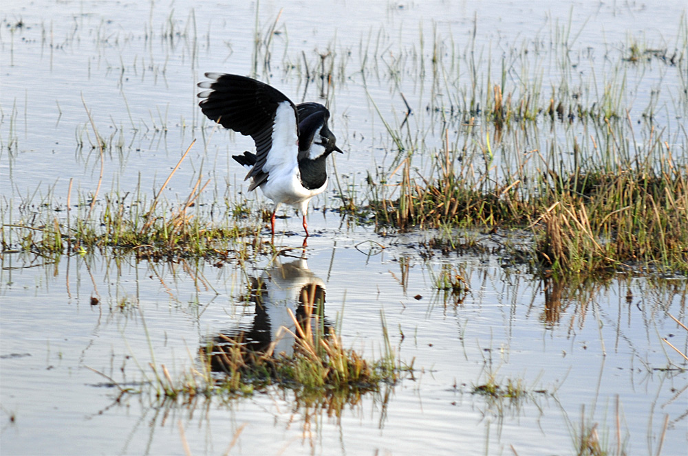 Picture of a Lapwing landing in some wetland