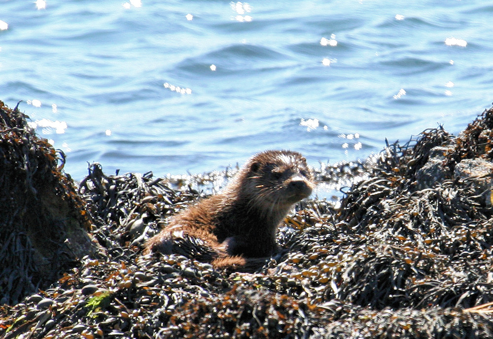 Picture of an otter on a shore