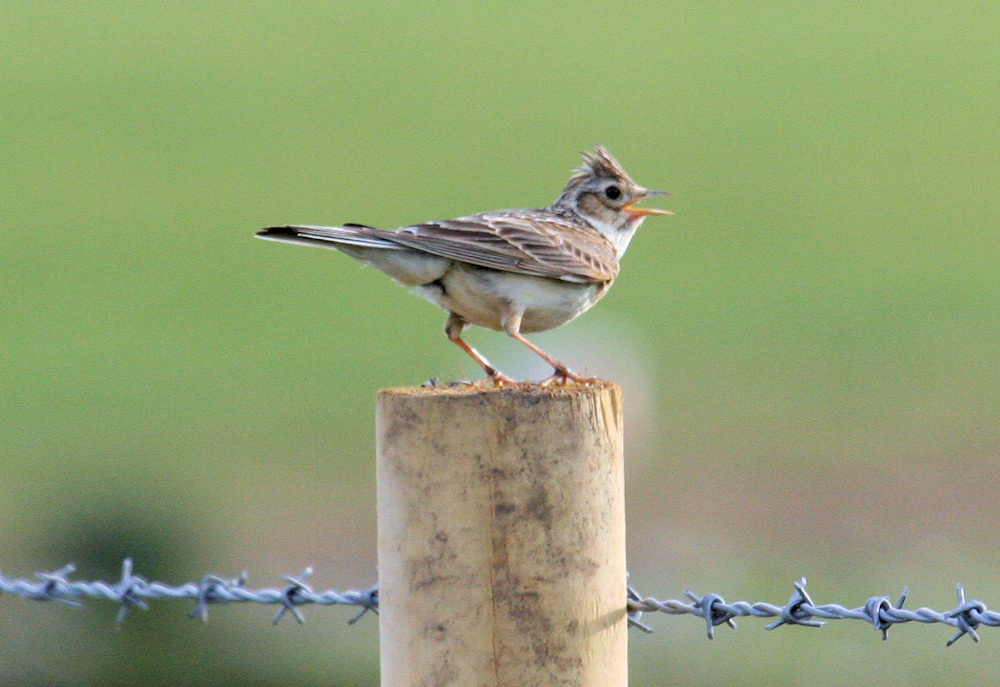 Picture of a Skylark sitting on a fence post