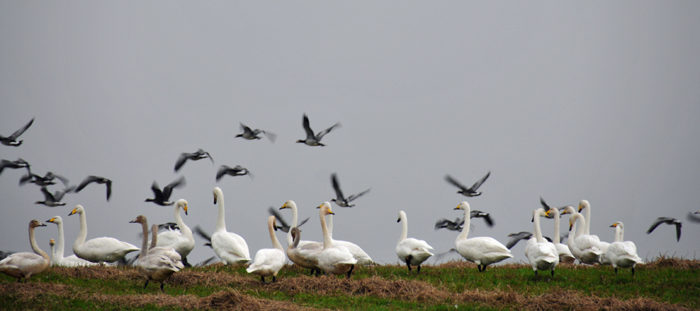 Picture of Whooper Swans and Barnacle Geese