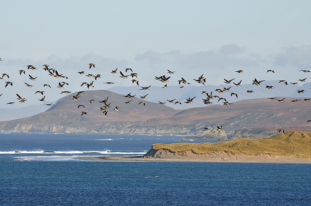 Picture of Barnacle Geese flying over dunes and a hilly landscape at the top of a sea loch