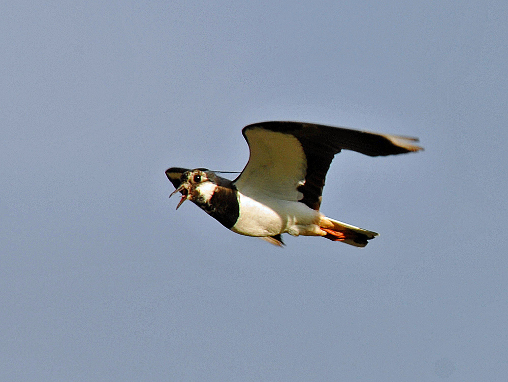 Picture of a lapwing in flight, beak open as it is calling