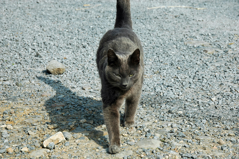 Picture of a black cat on a gravel path