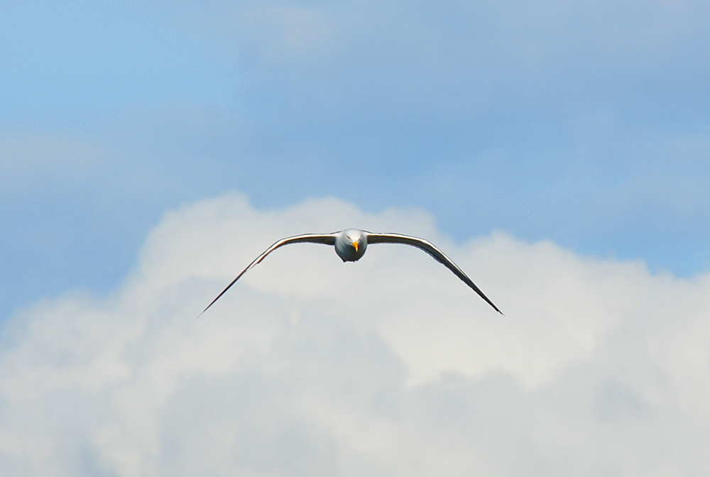 Picture of a gull in flight