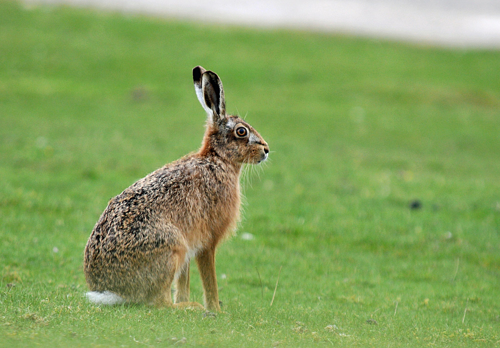 Picture of a hare sitting on grassy dunes