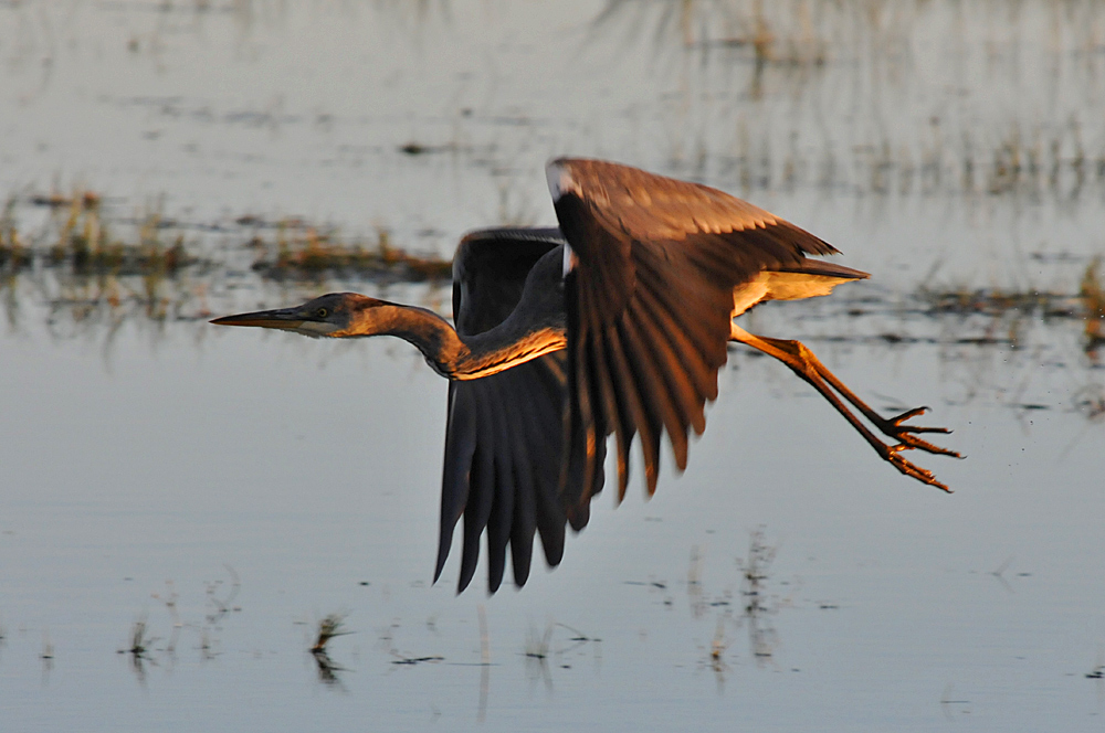 Picture of a Heron in low flight above some floods