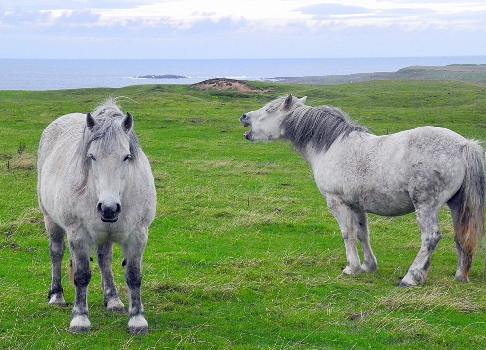 Picture of two horse, one with an open mouth as if it is laughing