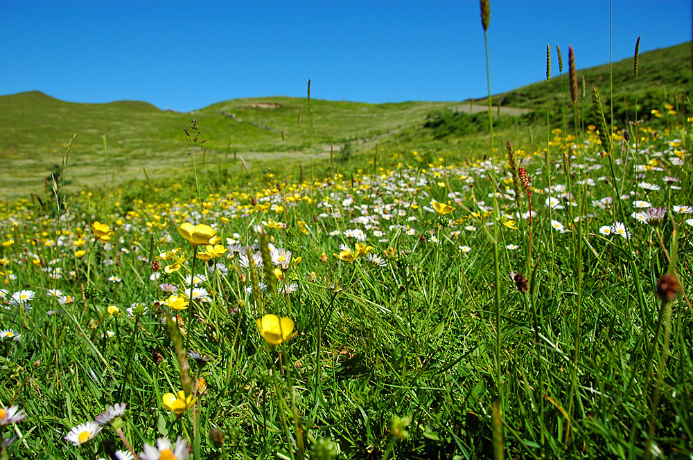 Picture of a machair, a flowery pasture of land just behind and on dunes