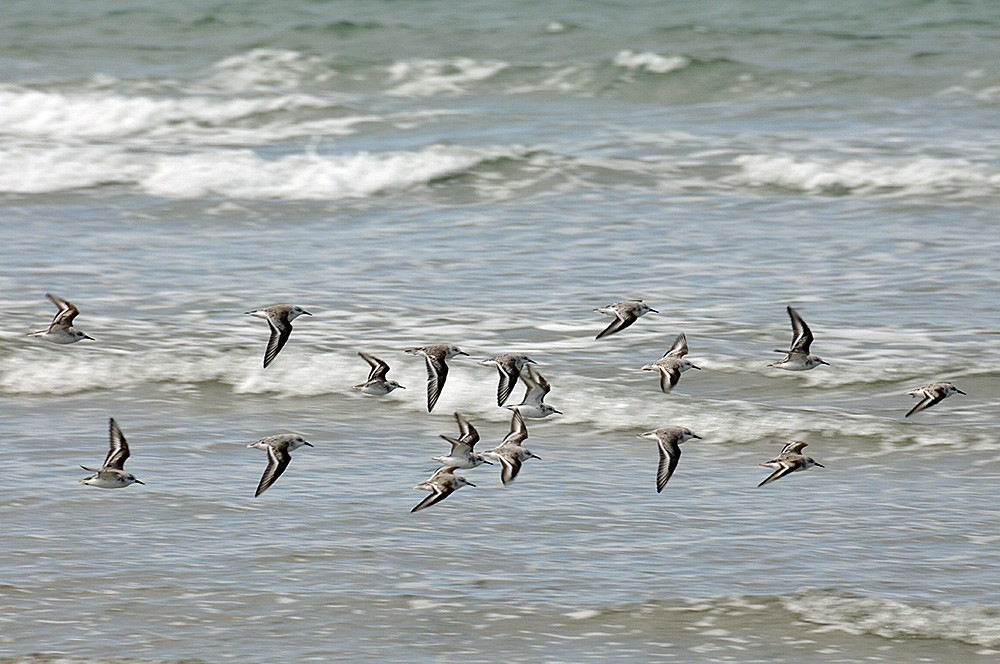 Picture of a flock of Sanderlings flying over a beach with waves breaking