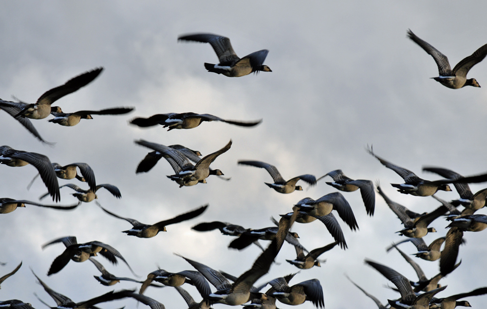 Picture of Barnacle Geese lifting off after being spooked