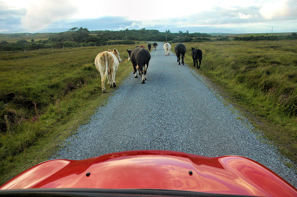 Picture of cattle walking on a single track road in front of the bonnet of a car