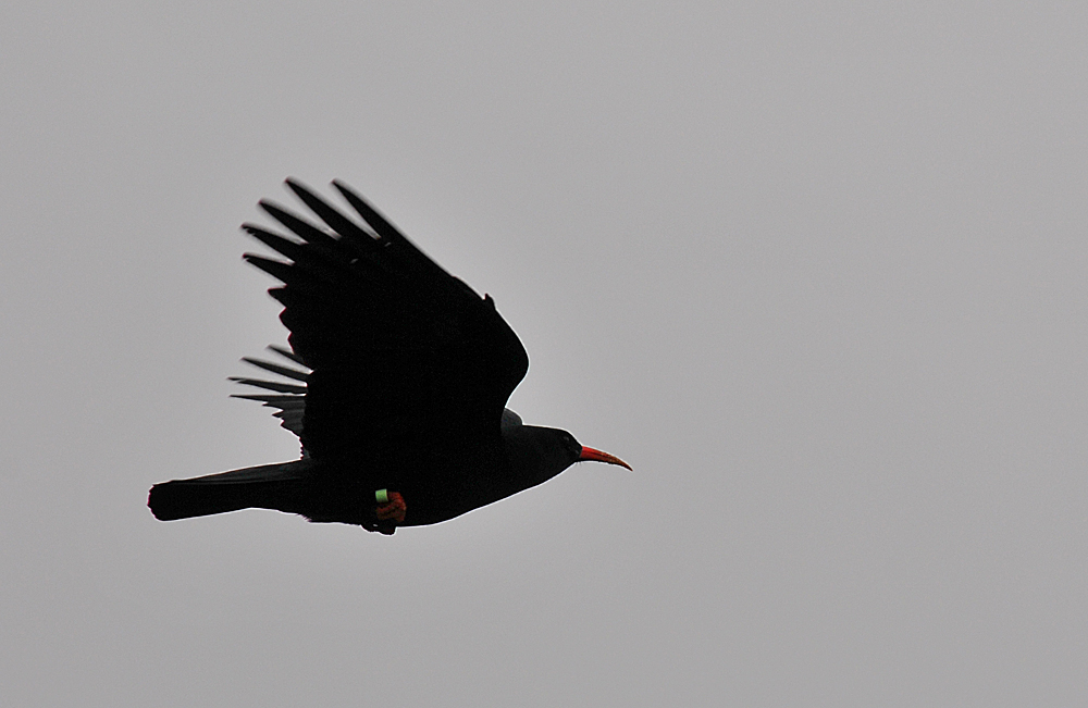 Picture of a Chough in flight