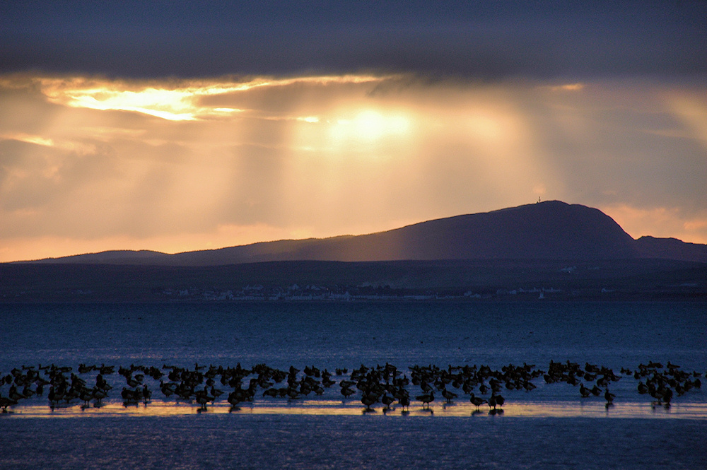 Picture of geese on mudflats under hazy afternoon sun
