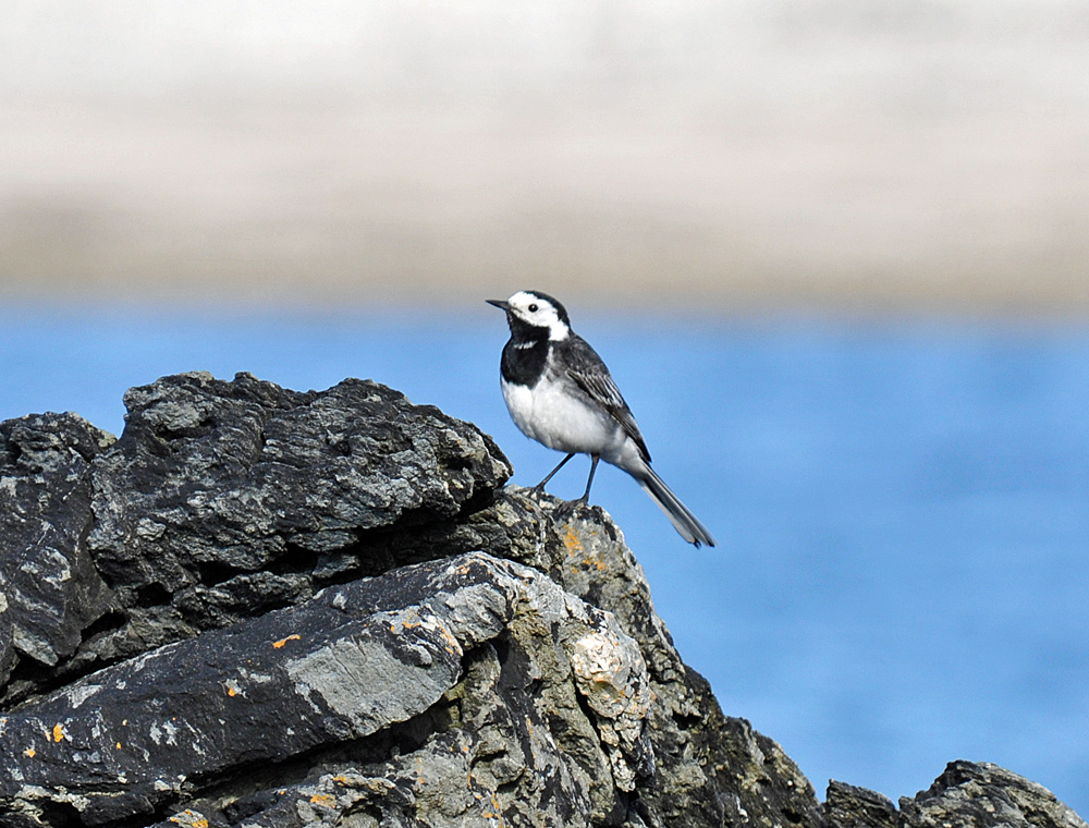 Picture of a Pied Wagtail on a rock