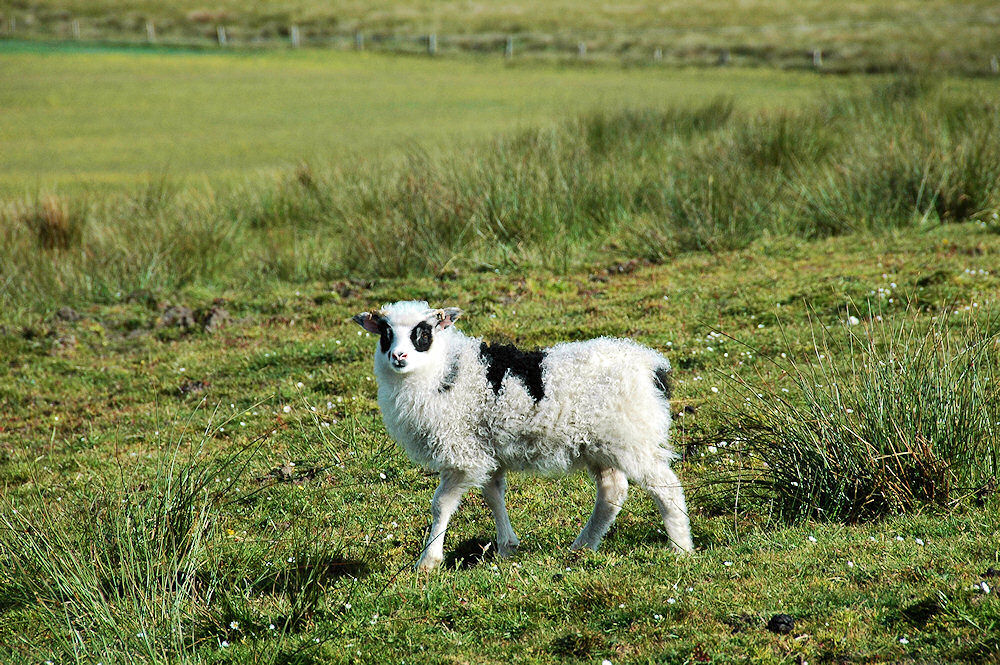 Picture of a lamb with black patches around its eyes