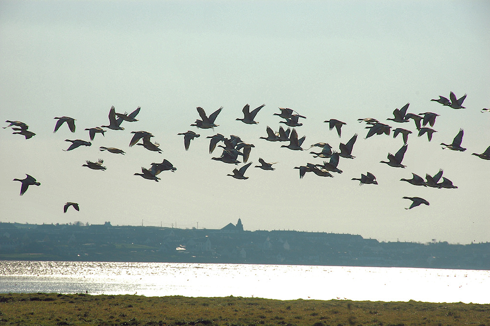 Picture of Barnacle Geese flying above a sea loch past a village