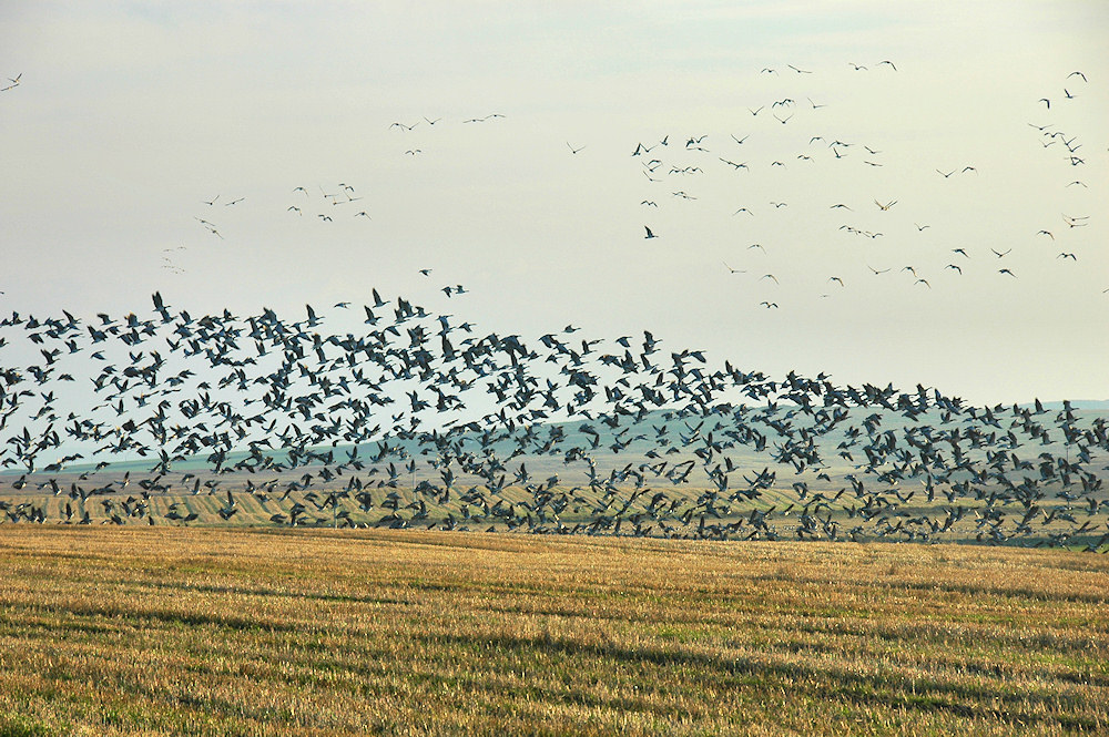 Picture of a large flock of Barnacle Geese lifting off from a field