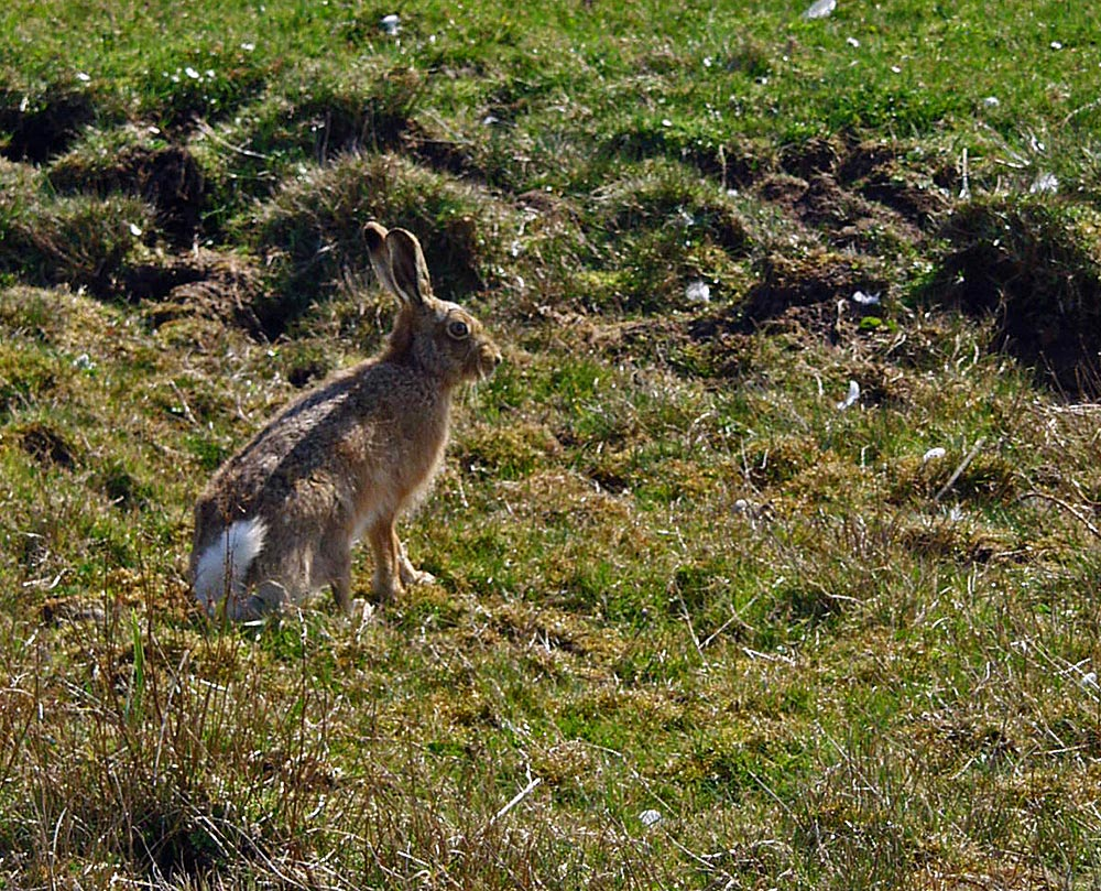 Picture of a sitting Hare in rough grassland