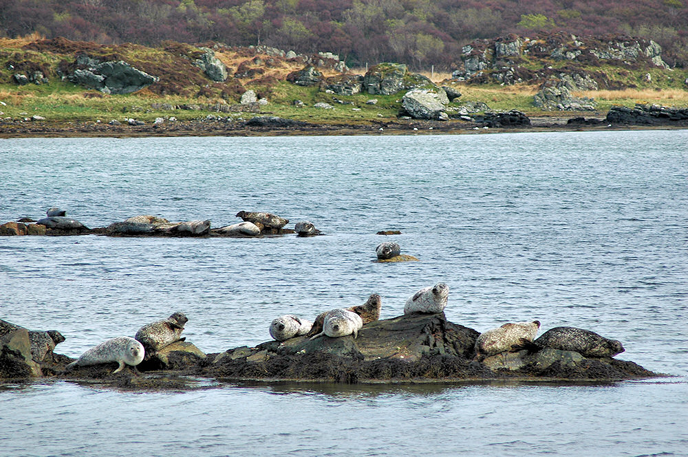 Picture of seals resting on rocks in a small sea loch