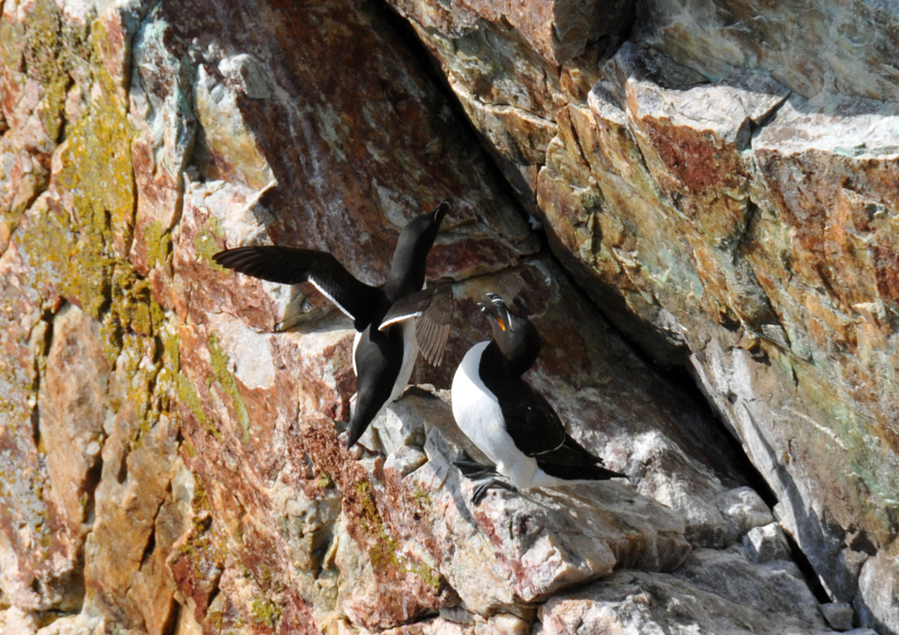 Picture of two Razorbills sitting on a cliff ledge, one flapping its wings