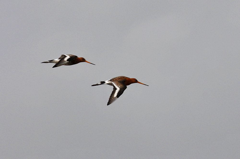 Picture of two Black-tailed Godwits in flight