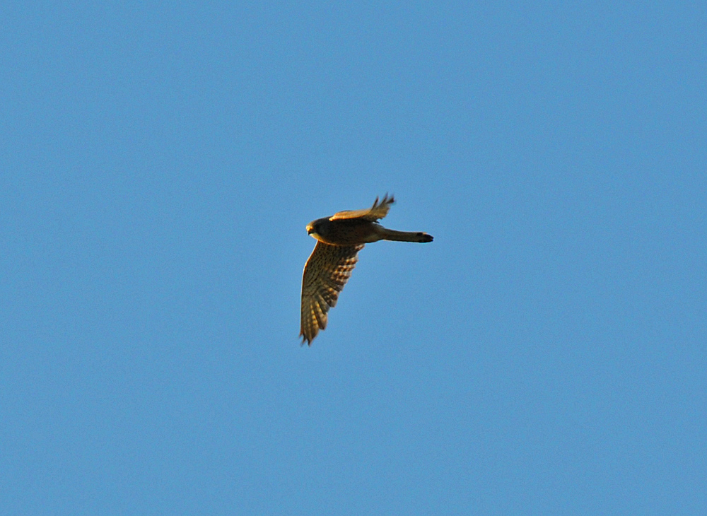 Picture of a Kestrel in flight