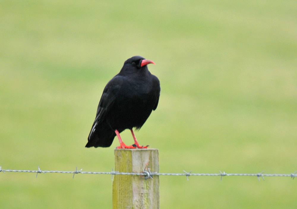 Picture of a chough sitting on a fence post