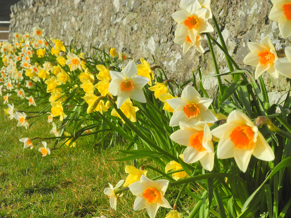 Picture of Daffodils along a stone wall