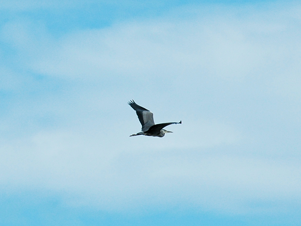 Picture of a Heron in flight