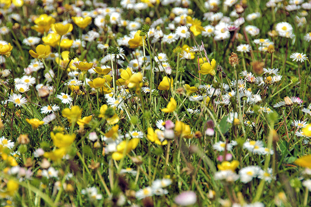 Picture with a close up view of the colourful flowers in the machair