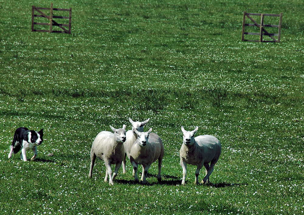 Picture of a sheep dog herding four sheep in a sheepdog trial
