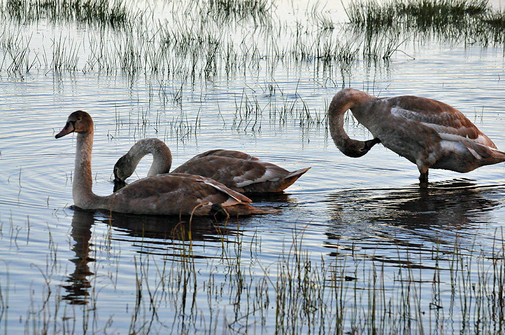 Picture of three young swans in a wetland