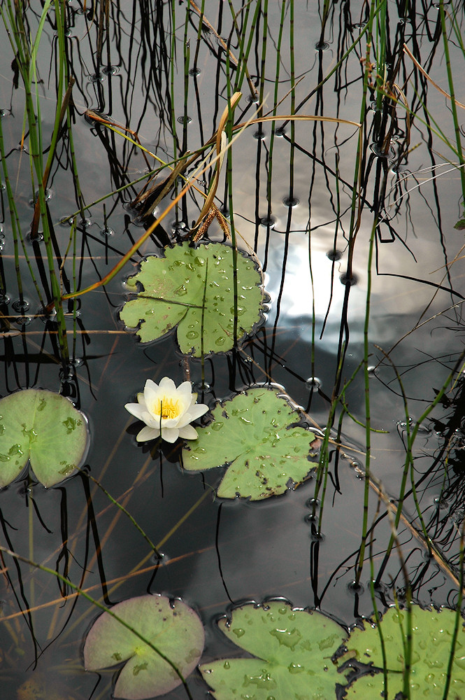 Picture of a water lily with the sun reflecting in the background