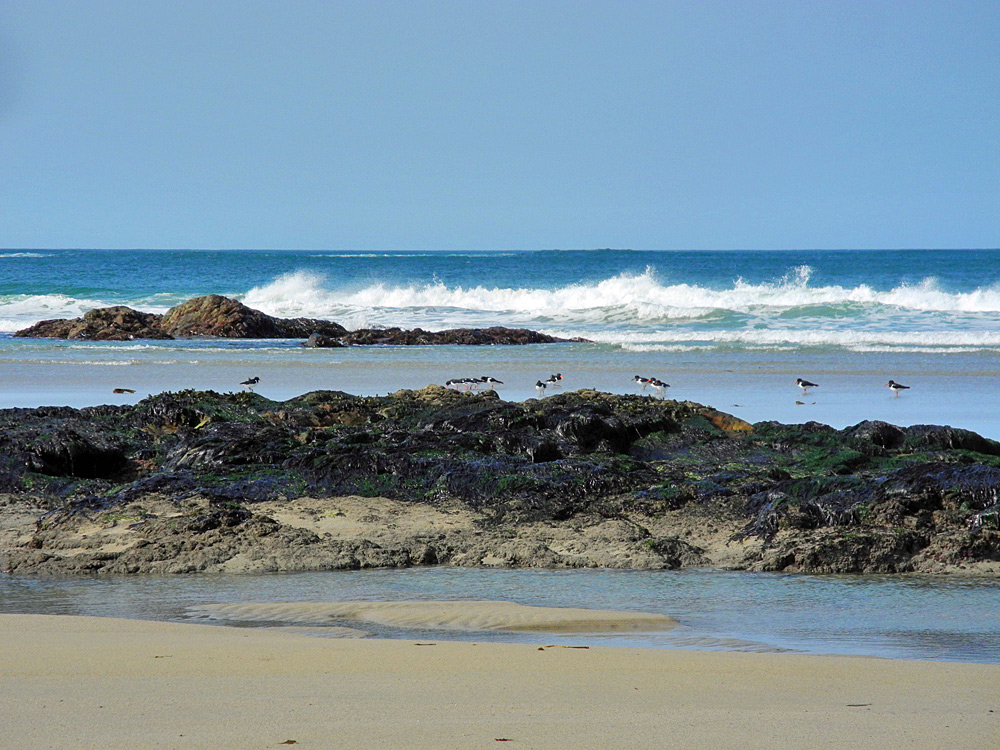 Picture of a beach with rocky outcrops, Oystercatchers on the beach