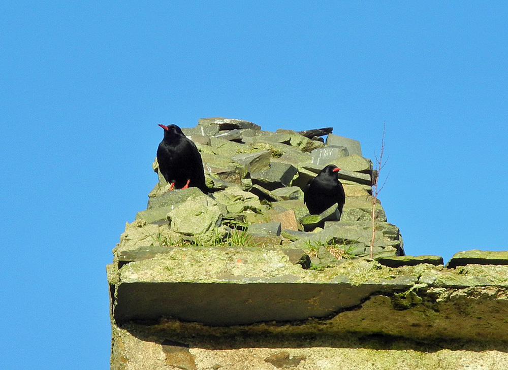 Picture of two Choughs on the gable of a ruin