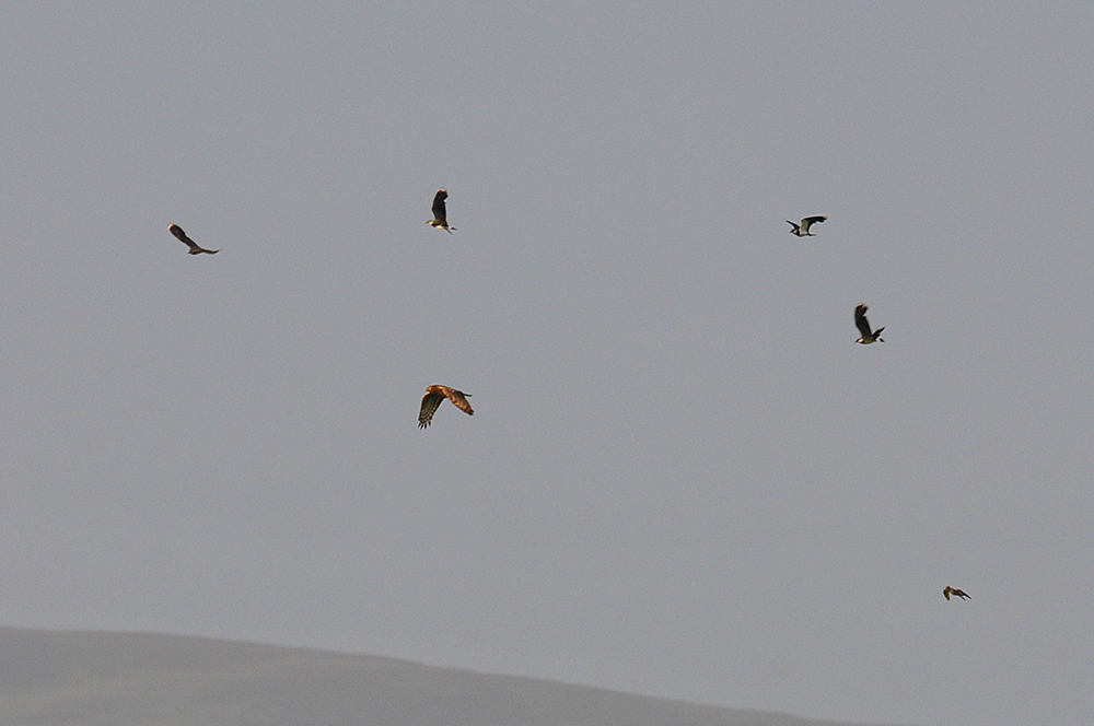 Picture of a Hen Harrier being mobbed by five Lapwings