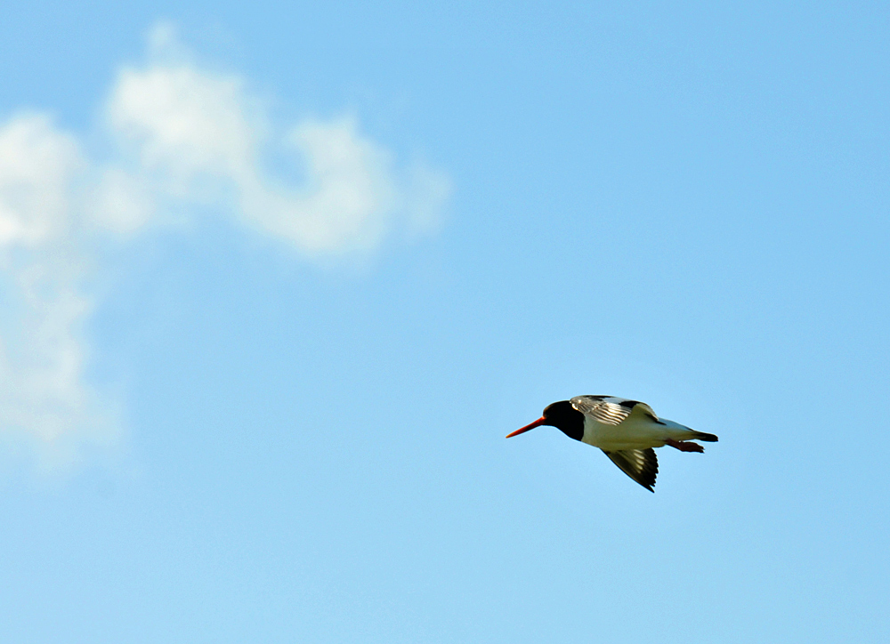 Picture of an Oystercatcher in flight