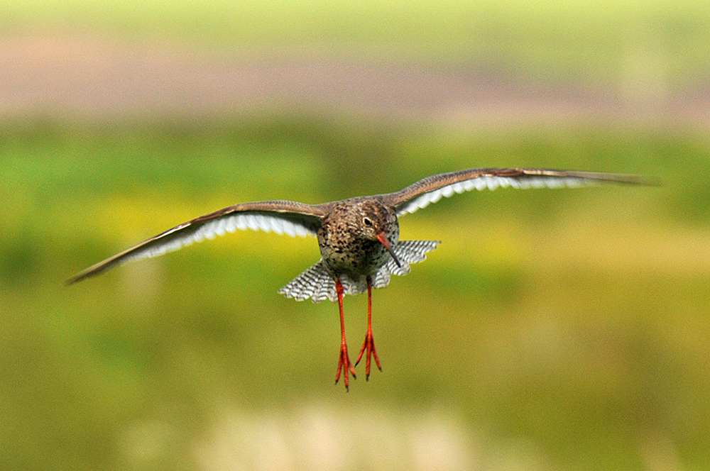 Picture of an approaching Redshank about to land