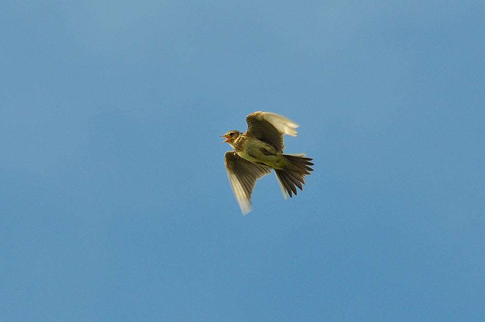 Picture of a Skylark in flight