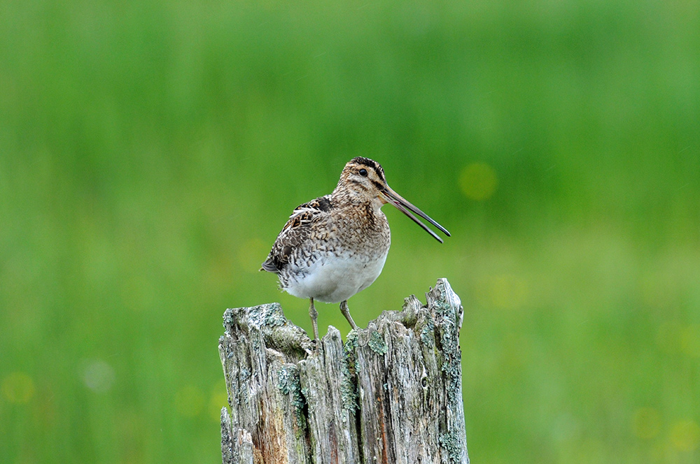 Picture of a Snipe sitting on an old post, its beak slightly open