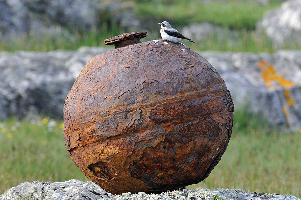 Picture of a Wheatear sitting on an old rusty metal weight near a shore