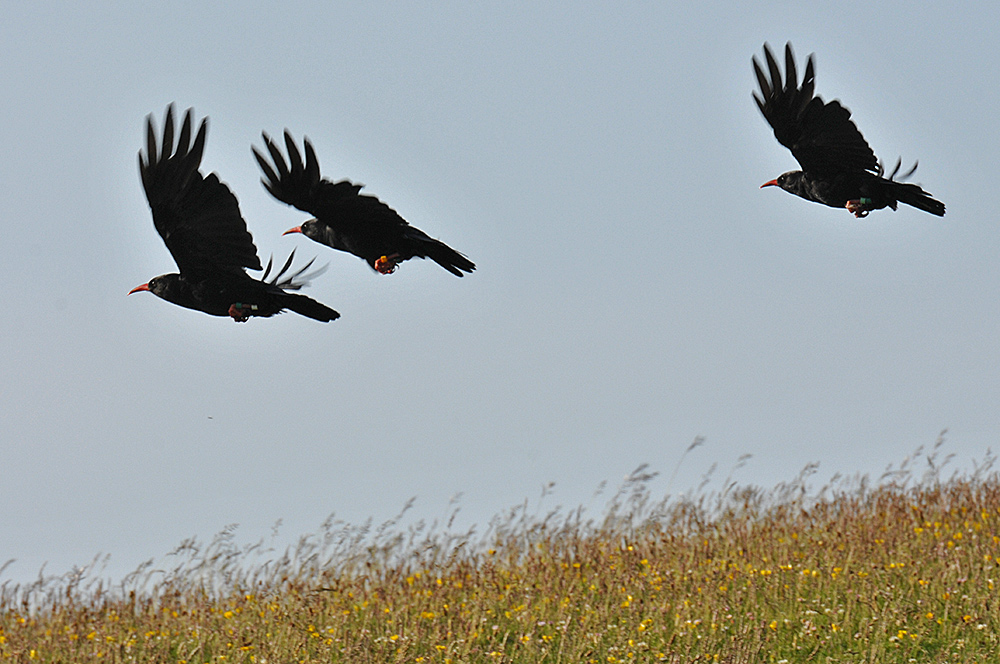 Picture of three Choughs in flight above a grass covered dune