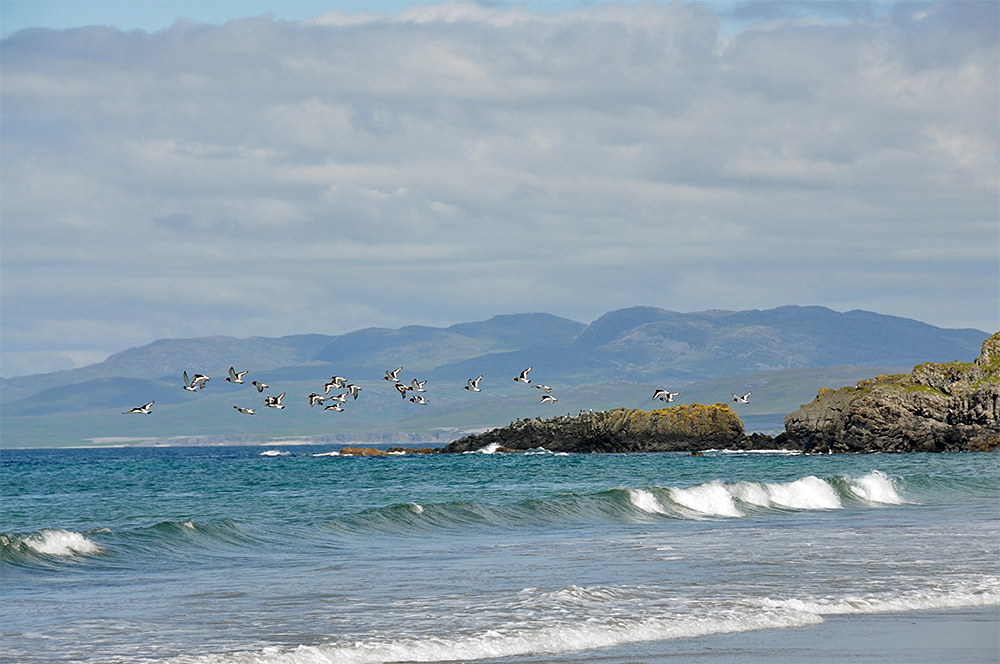 Picture of a flock of Oystercatchers in flight over a bay
