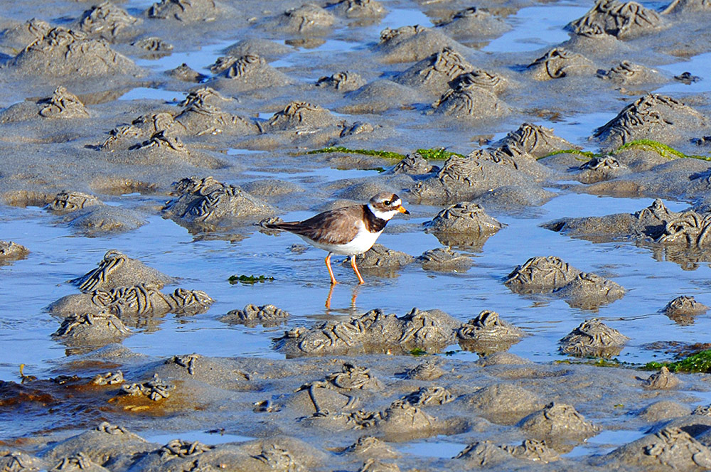 Picture of a Ringed Plover on a beach at low tide