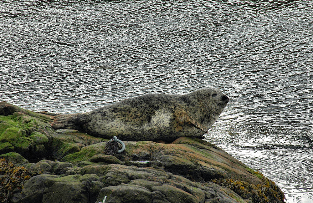 Picture of a Seal on a rock