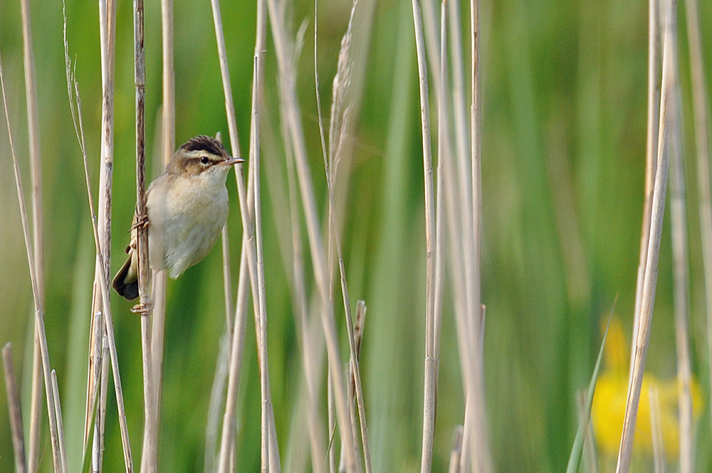 Picture of a Sedge Warbler sitting on a reed stem